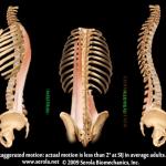Deep & Superficial Erector Spinae