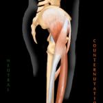 Anterior Hip Flexors