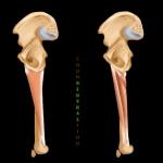 Hip Adductors